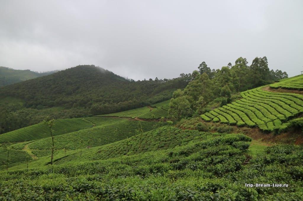 Чайные плантации везде