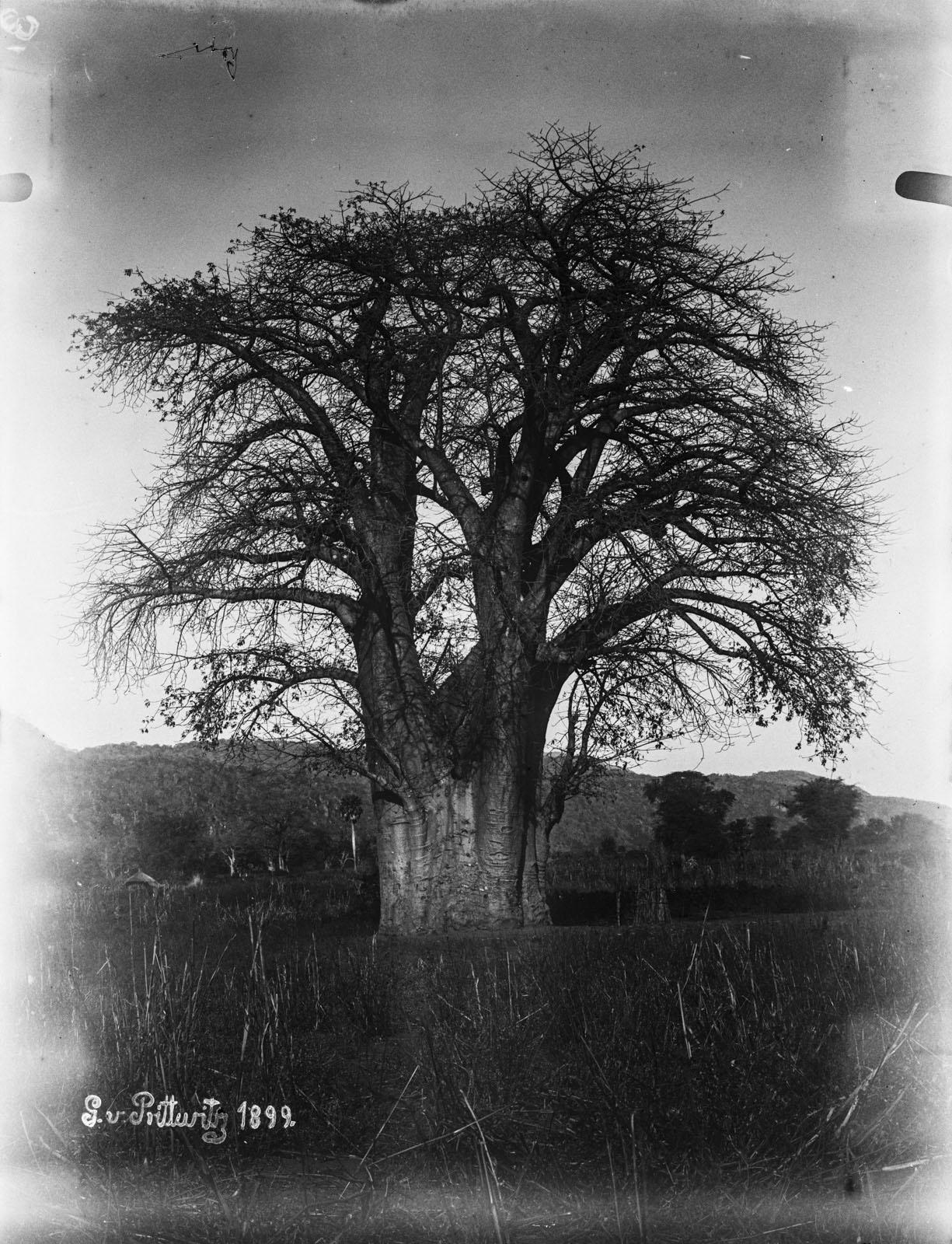 19. 1899. Баобаб
