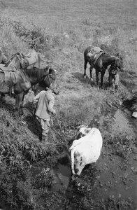 На водопое. Двое мужчин с лошадьми и коровой