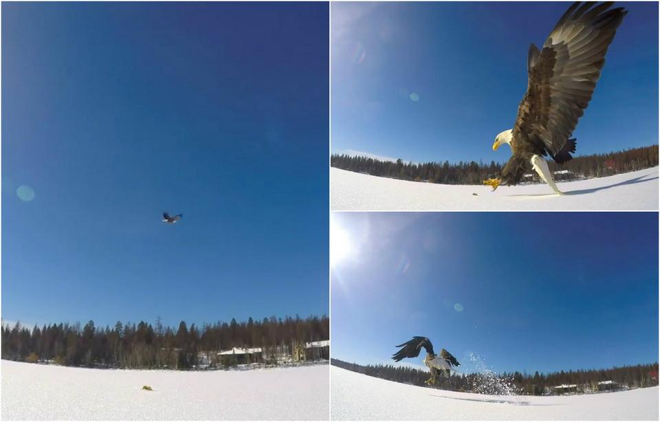 Белоголовый орлан украл улов у рыбаков