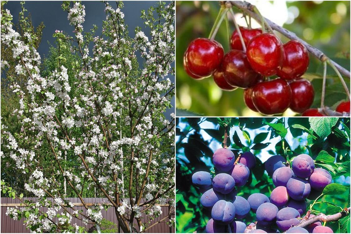 Почему плодовые деревья цветут, но урожая нет
