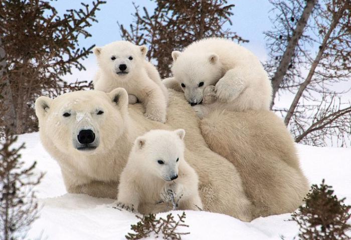 День полярного медведя. Медведица с медвежатками