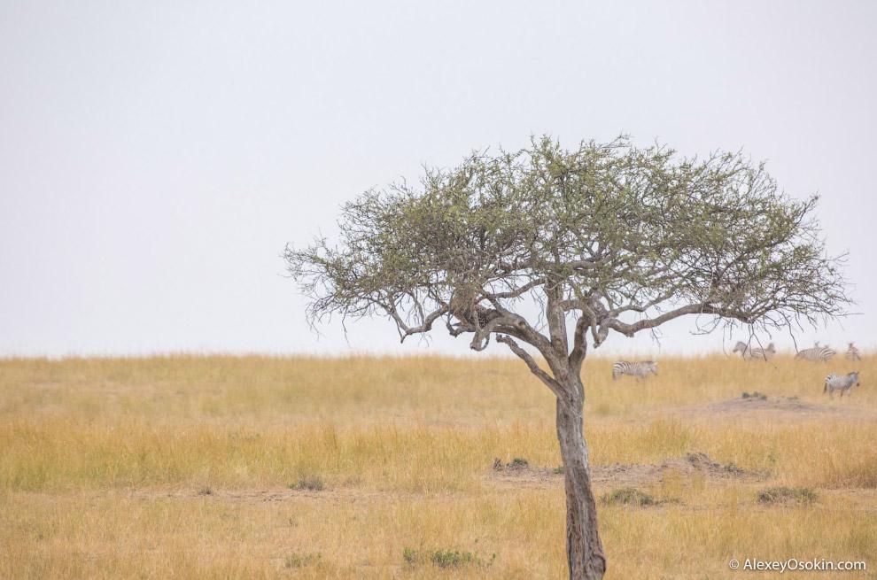 7. Леопардов в этих краях не так много, поэтому я решил подъехать поближе и сделать несколько к