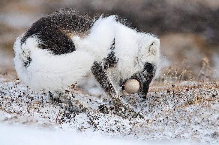 2. Красавец морж. (Фото Sergey Gorshkov | bioGraphic):