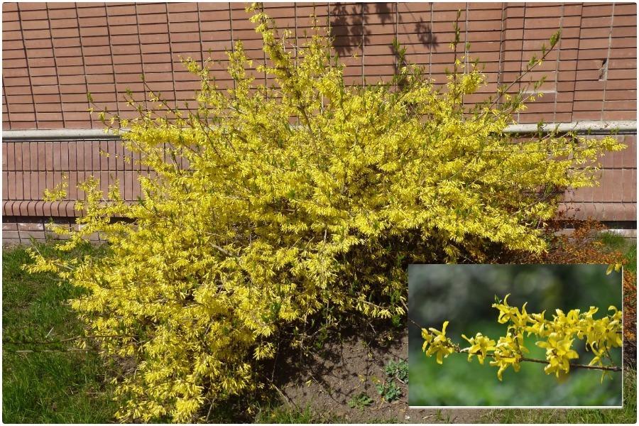 Самые эффектные кустарники, цветущие весной-форзиция
