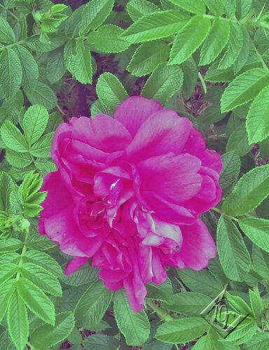 Шиповник и другие цветы