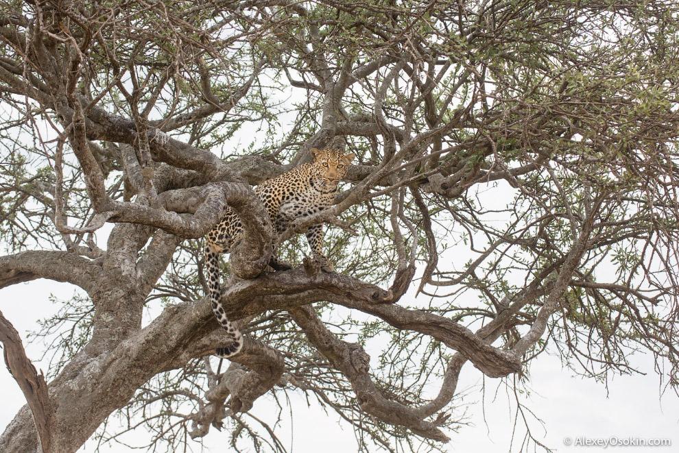 7. Мы пытаемся вести учет всех леопардов и собираем базу данных с фотографиями, фиксируем все п