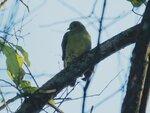 Treron sphenurus, Клинохвостый зелёный голубь