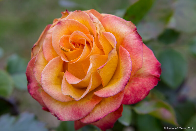 Поздняя роза (2 декабря)