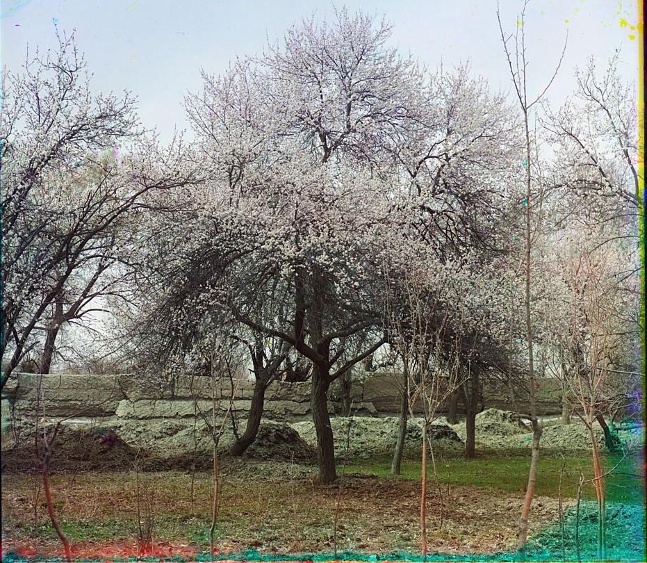 Урюк в цвету в саду Эмира Шир-Будун