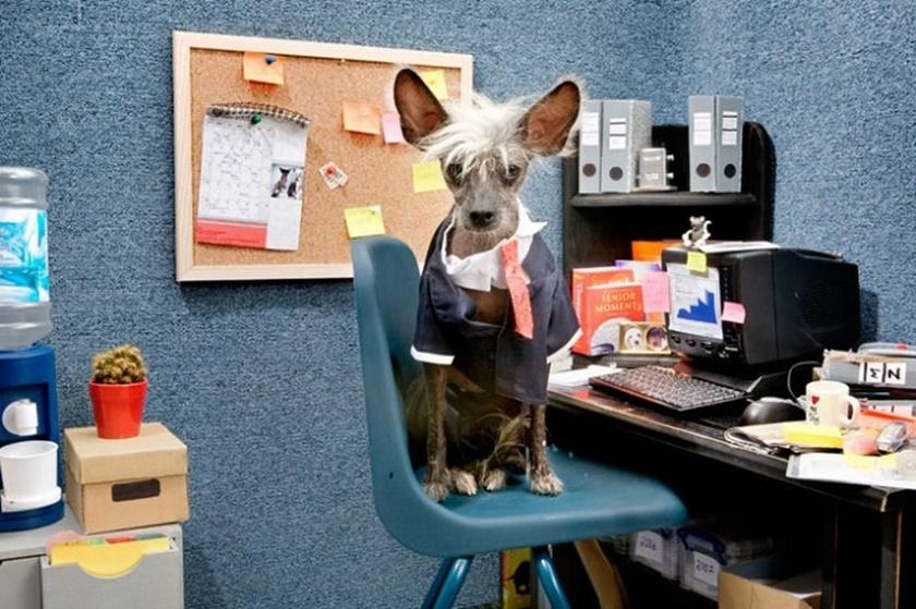 Проект «Чини». Фотографии китайской хохлатой собачки 0 141ab6 deaac431 orig