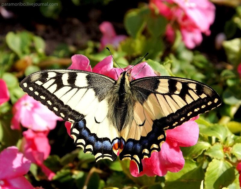 Парусник (хвостоносец) Махаон - Papilio machaon, семейство парусники / в Красной Книге Московской области / снято в Москве!