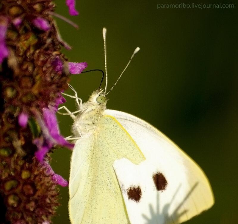 Капустная белянка (Pieris brassicae), самка, сем. белянки / на цветках буквицы лекарственной