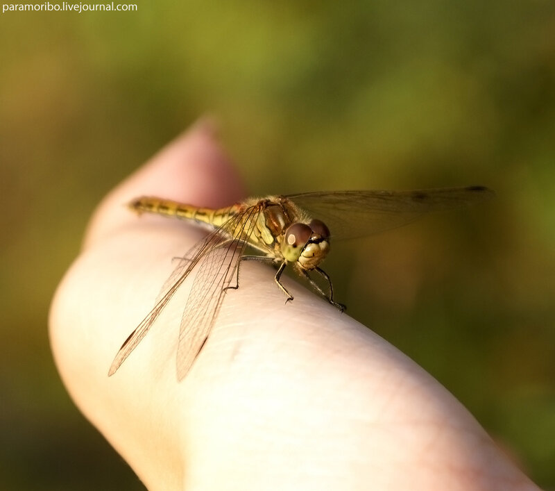 Приручение стрекоз-2 / Стрекоза обыкновенная, самец - Sympetrum vulgatum, сем.настоящие стрекозы - Libellulidae