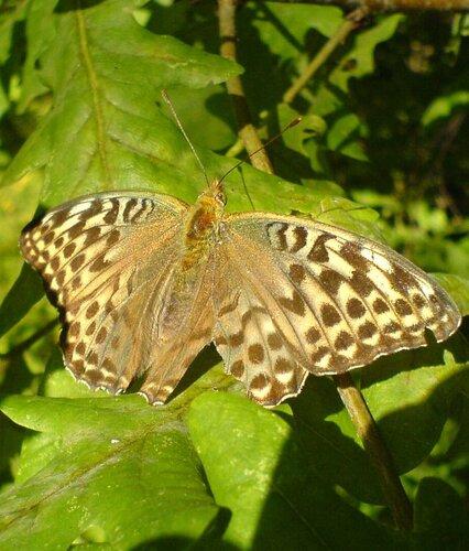 Перламутровка  Argynnis Paphia из семейства Нимфалид