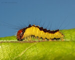 Acronicta strigosa – стрельчатка малая, семейство Совки – Noctuidae