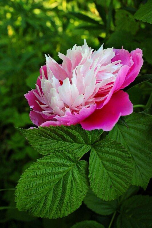 Розовый пион.