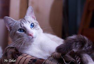 Наполовину тайский кот