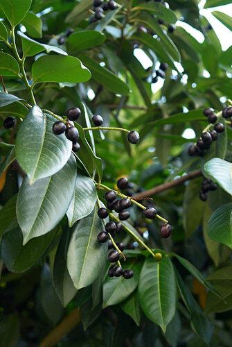 маслины, как настоящие (что, или кофе?)