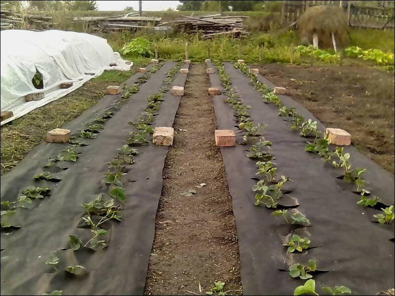 фото картинки, фото растений, клубника, сад и огород