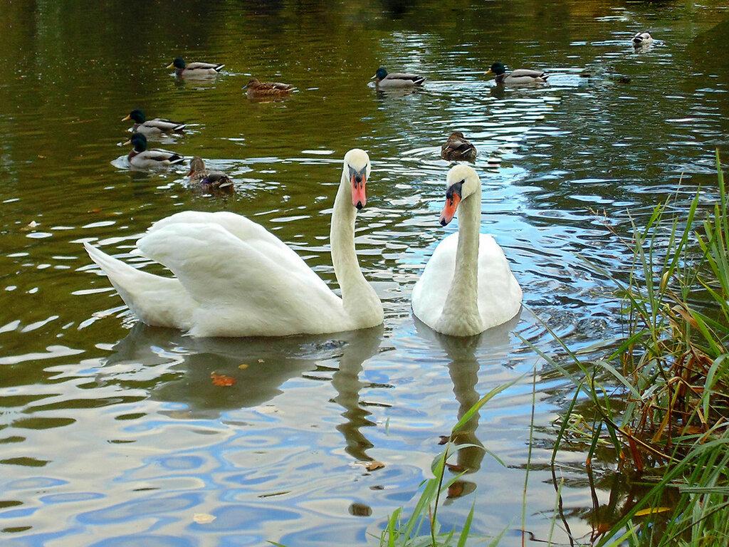 Лебедь чистый, лебедь белый...3
