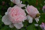 Розы цветут - Страница 2 0_20e3ad_275f3386_S