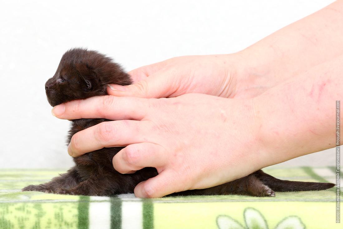 котенок Мейн-кун черный