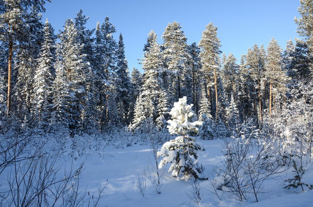 Белым снегом укрыт заколдованный лес