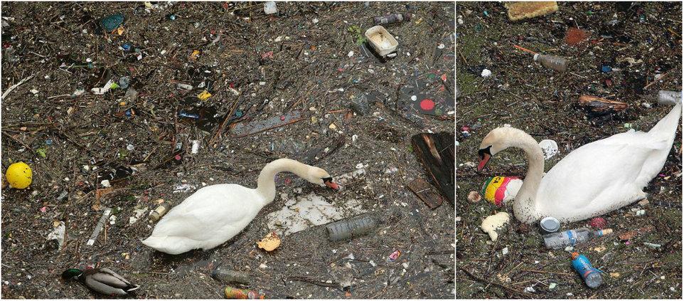 Птицы с трудом пробираются сквозь слой мусора на поверхности Темзы