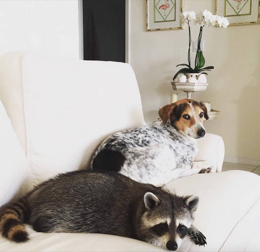 A Tender Friendship between a Raccoon and Dogs