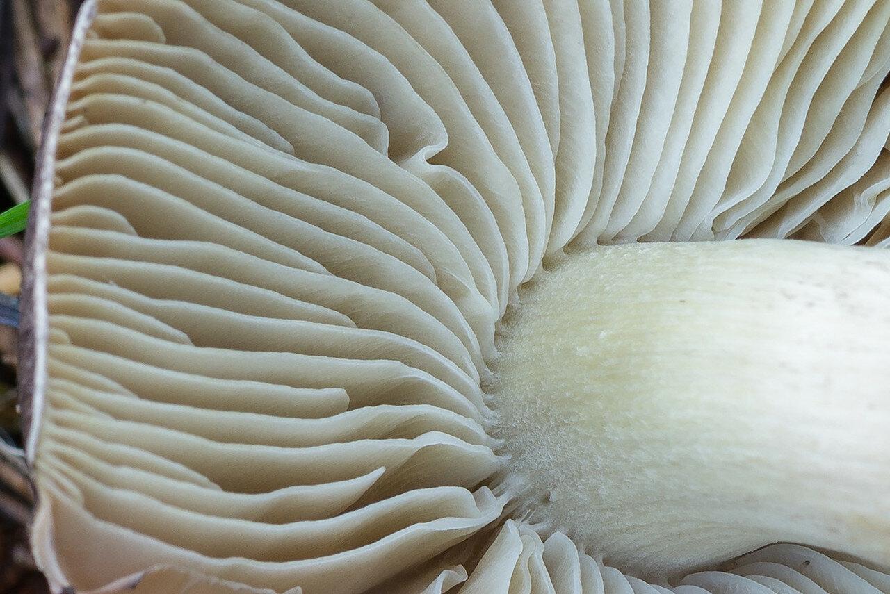 Рядовка серая (Tricholoma portentosum) Автор фото: Владимир Брюхов