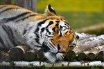 Не мешайте тигру спать!