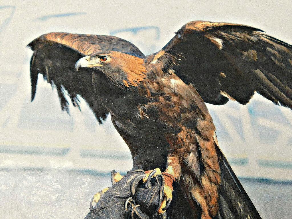 Золотой орёл Дональд