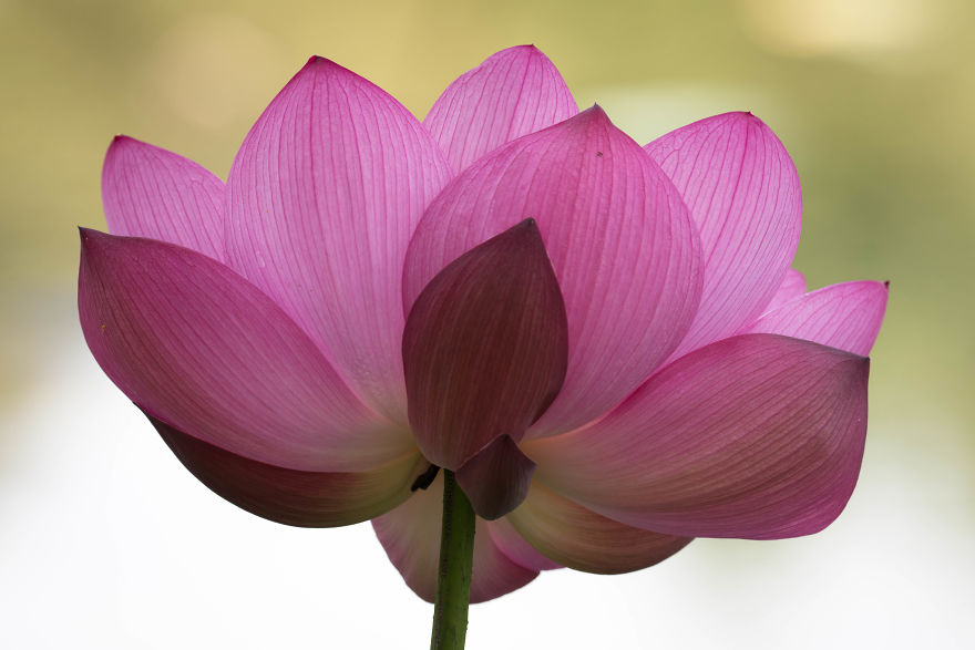 I-wake-up-at-350-to-shoot-lotus-flowers-579dfbc61066d__880.jpg