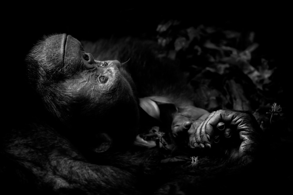 11. Ссора двух зайцев. (Фото Erlend Haaeberd   Wildlife Photographer of the Year 2017):