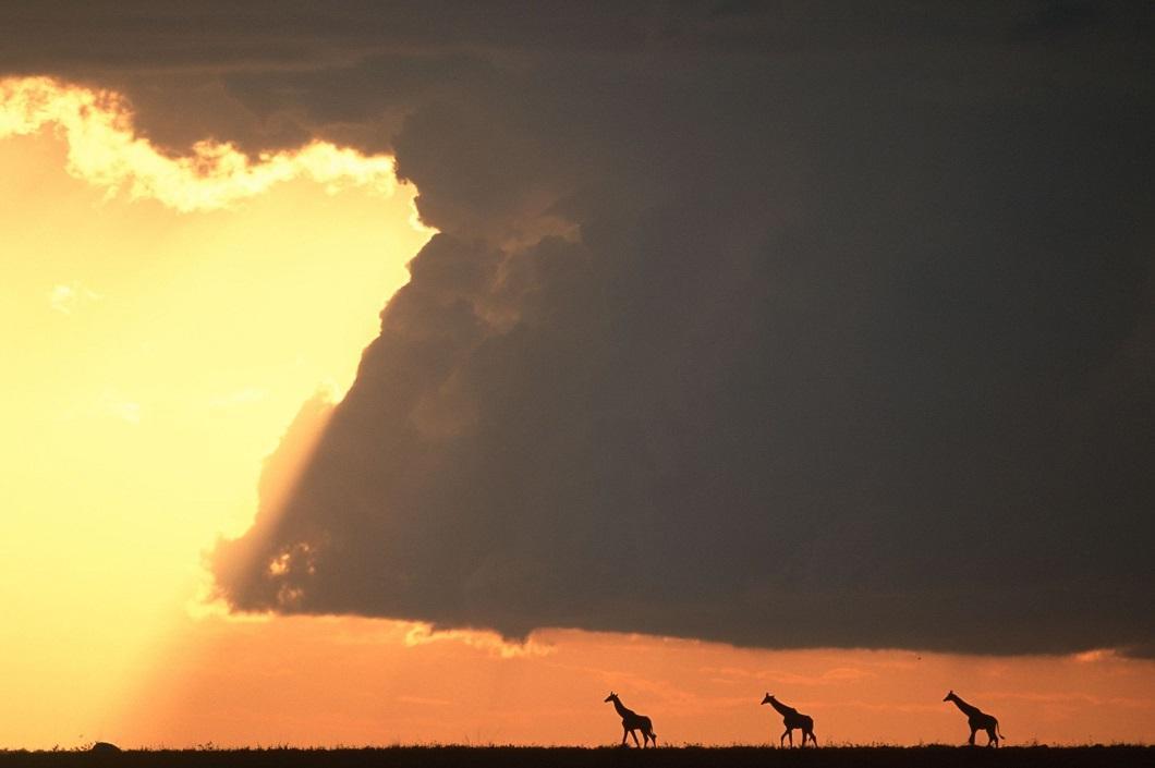 5. Жирафы на закате. (Фото: Пол Гольдштейн / Rex)
