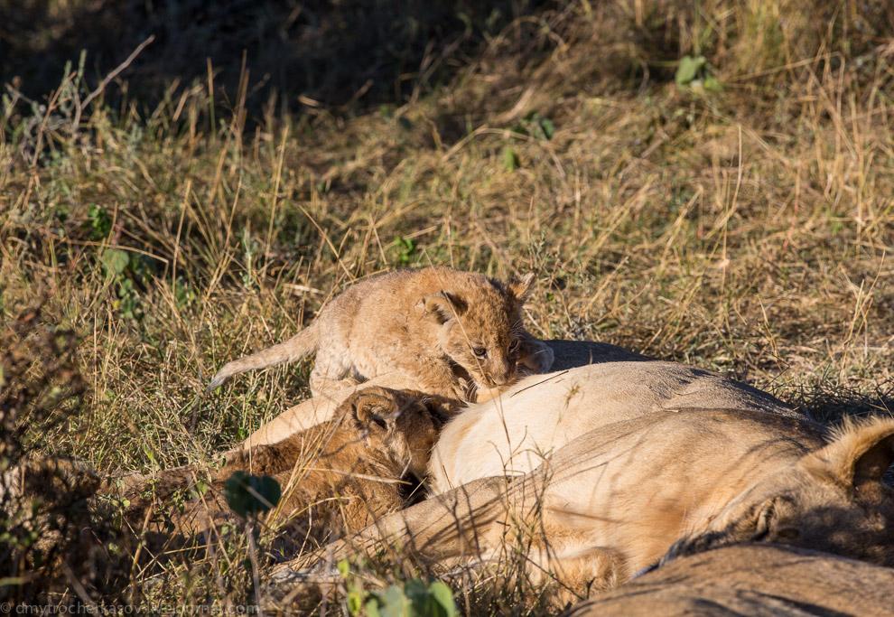 6. Ну а пока мама на месте, львятам можно немого расслабится и подкрепиться.