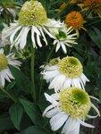 Echinacea Vanilla Cupcake (3).JPG