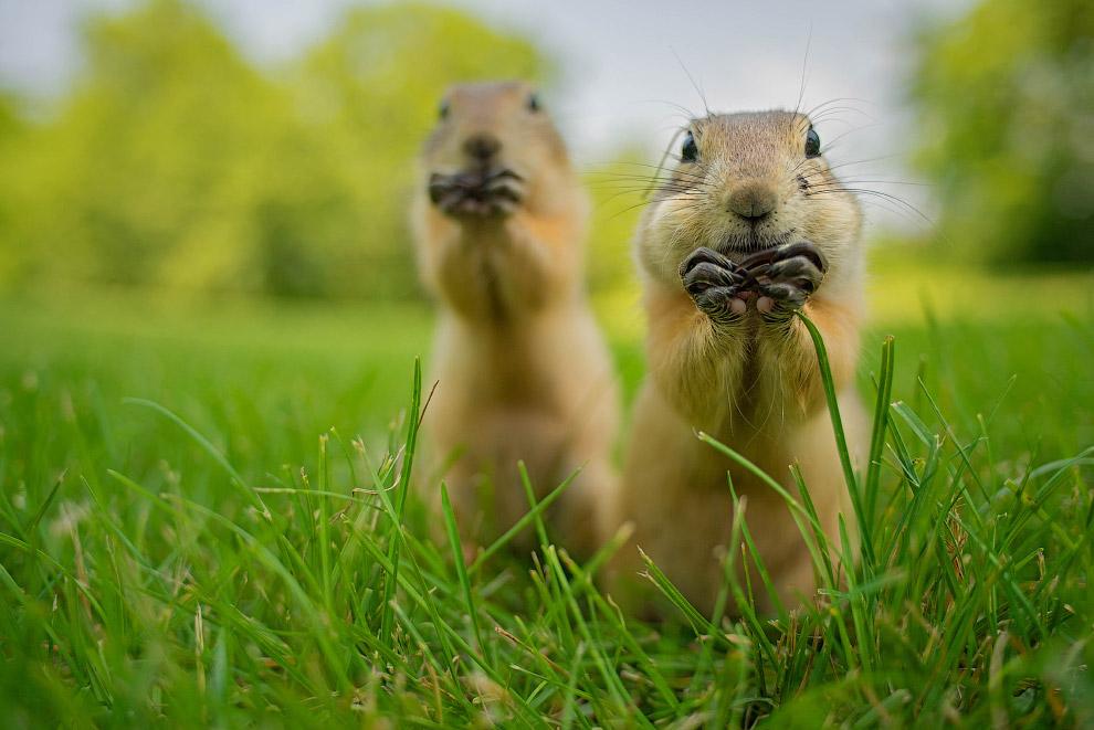 16. «Смеющийся лось». (Фото Sami Rahkonen | Comedy Wildlife Photography Awards):