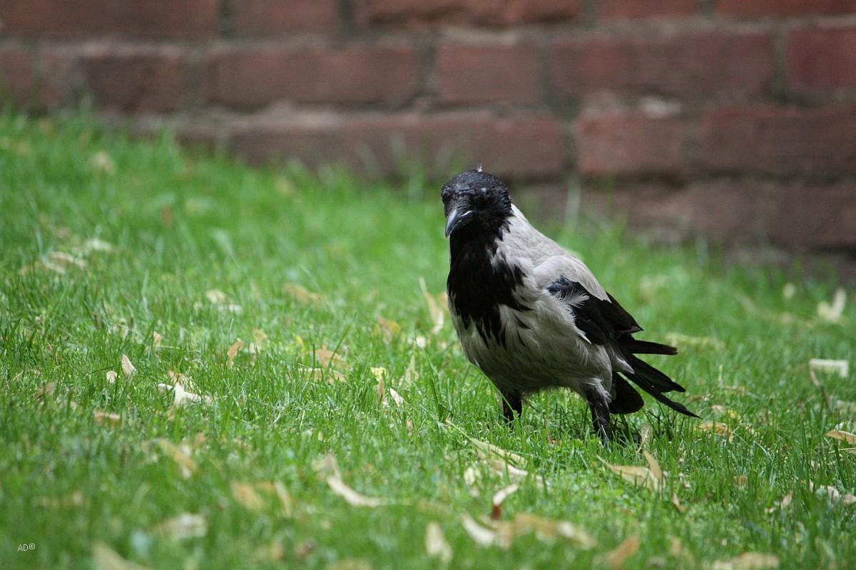 Ворона на Красной площади