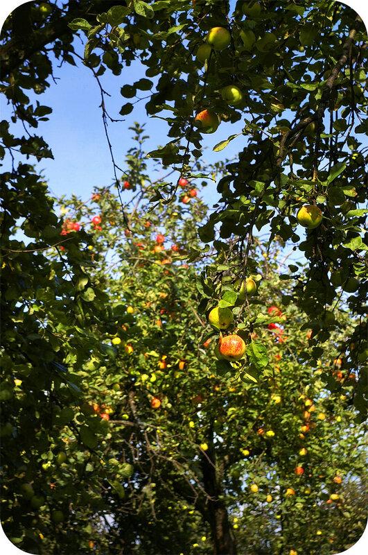 Яблоки в Коломенском
