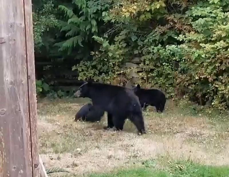 Вежливый канадец уговорил медведей уйти со двора