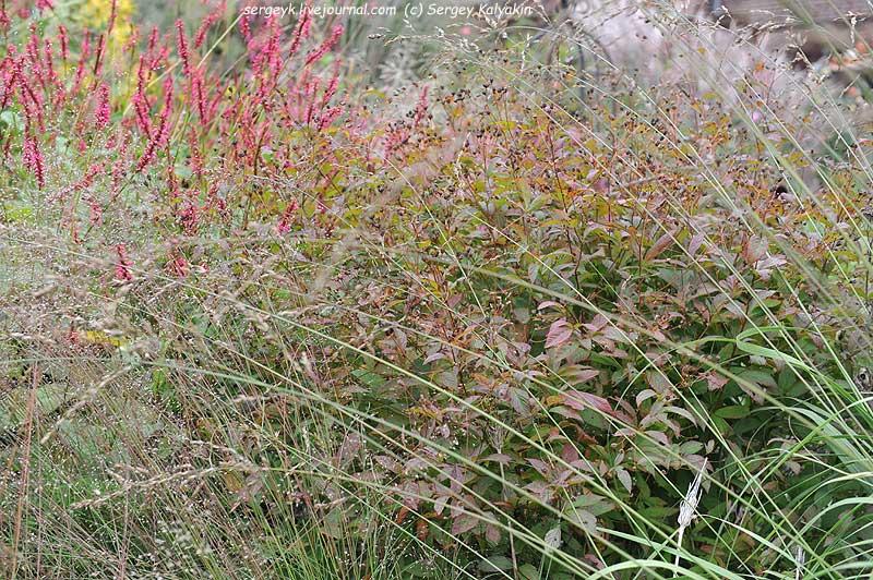 Sporobolus heterolepis Persicaria amplexicaulis Summerdance Gillenia trifoliata.JPG