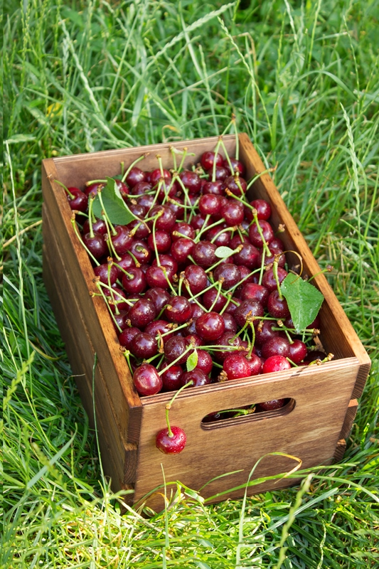 Fresh cherry in a wooden box on a green grass