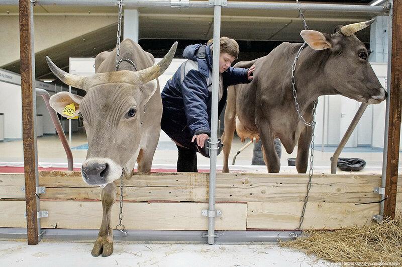 ВДНХ. Золотая осень.  коровы. 03.10.17.13..jpg