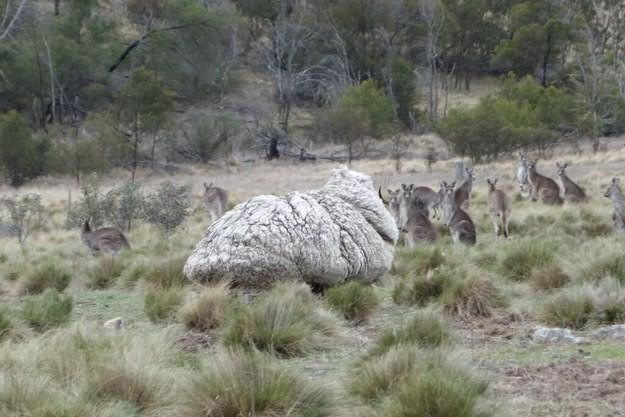Волонтерам Королевского общества защиты животных удалось поймать овцу.