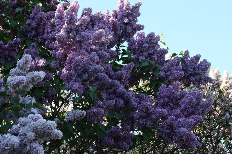 Lilac garden, Moscow