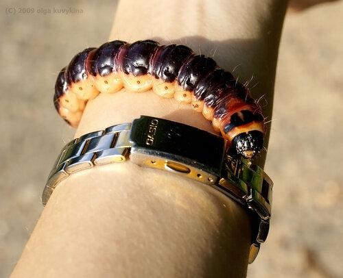 Гусеница Древоточца пахучего (ивового) – Cossus cossus, семейство Древоточцы - Cossidae