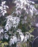 серебрянные листья