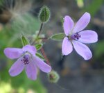 аистник цветок